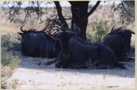 Blue Wildebeest resting under a tree in the Kgalagadi Transfrontier Park