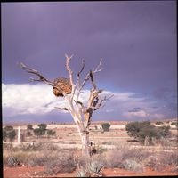 A bird's nest in a dead Camel Thorn tree within the Kgalagadi Transfrontier Park