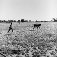 Boy chasing calf