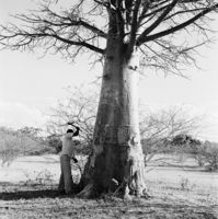 Healer removing bark from a baobab