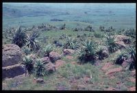 Aloe span at north east end of Ngonyana. Looking north from 134/81 [North east Summit of Ngonyama Mountain above Emmaus][228]