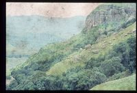 Forest on southern slopes of L.T.U. From 146/81 [Little Tugela Valley - south facing slope Molteno Shelf][240]