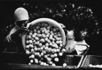 Young girl offloading fruit from basket, Wellington, South Africa, 1986