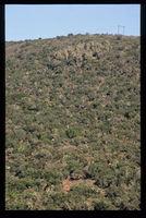 Banded euphorbs, Gamtoos Valley