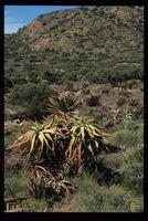 Aloe speciosa Baker, north of Baviaanskloof