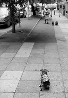 Domestic worker walking dogs, Johannesburg, South Africa