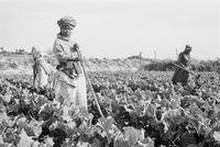 Farming in Philippi , 1996