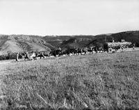 Herdeding cows, Transkei, South Africa