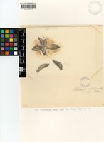 Aloinopsis rubrolineata (N.E.Br.) Schwantes? INCERTAE