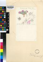 Antimima leucanthera (L.Bolus) H.E.K.Hartmann