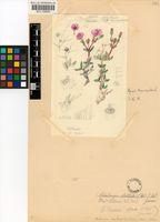Antimima hantamensis (Engl.) H.E.K.Hartmann & St'ber