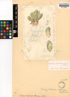 Argyroderma crateriforme (L.Bolus) N.E.Br.