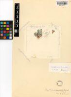 Argyroderma pearsonii (N.E.Br.) Schwantes