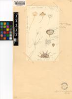 Apatesia helianthoides (Aiton) N.E.Br.