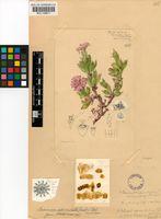 Braunsia apiculata (Kensit) L.Bolus