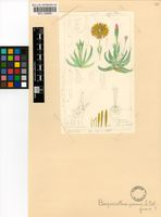 Bergeranthus vespertinus (A.Berger) Schwantes
