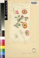 Cephalophyllum ebracteatum (Pax ex Schltr.& Diels) Dinter & Schwantes