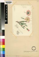 Cephalophyllum framesii L.Bolus