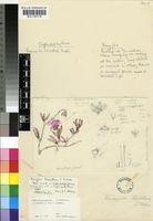 Cephalophyllum rostellum (L.Bolus) H.E.K.Hartmann