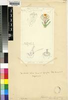 Cephalophyllum staminodiosum L.Bolus