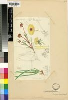Cephalophyllum tricolorum (Haw.) Schwantes