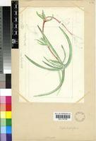 Cephalophyllum sp.