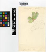 Cheiridopsis pillansii L.Bolus