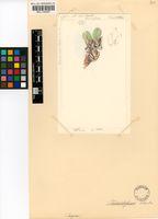 Cheiridopsis robusta (Haw.) N.E.Br.