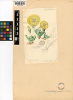 Cheiridopsis namaquensis (Sond.) H.E.K.Hartmann
