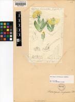 Cheiridopsis derenbergiana Schwantes