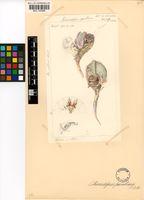 Cheiridopsis peculiaris N.E.Br.