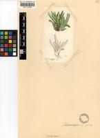 Cheiridopsis rostrata (L.) N.E.Br.