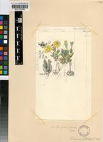 Chasmatophyllum stanleyi (L.Bolus) H.E.K.Hartmann
