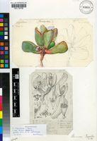 Bijlia tugwelliae (L.Bolus) S.A.Hammer