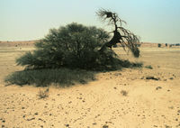 A bird nest in a Camel Thorn tree within the Kgalagadi Transfrontier Park