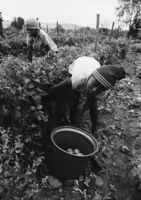 Child labourer, Magaliesberg, Transvaal