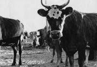 Cows, Crossroads, Cape Town